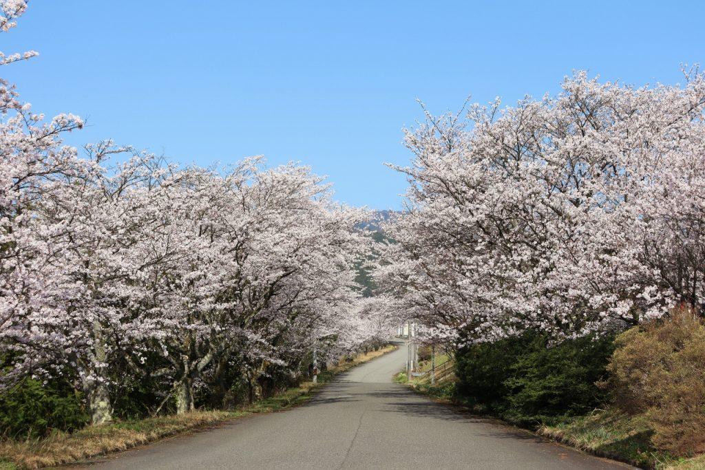 会社の桜が満開です。